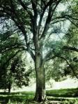 Arbol del Parque del Oeste