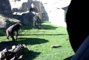 zoo_gorila