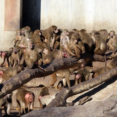 zoo_mandril_mono_culo_rojo